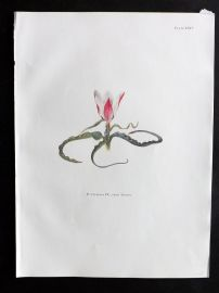 Dykes 1930 Botanical Tulip Print. Clusiana DC. From Tibet 24